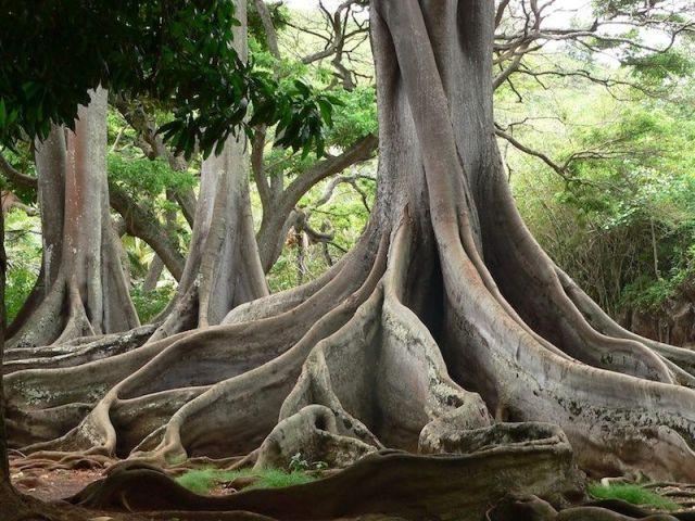 Moreton Bay Fig Tree - National Tropical Botanical Garden ...